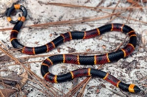 Here is an adult eastern coralsnake from the central panhandle of Florida. Kenny Wray