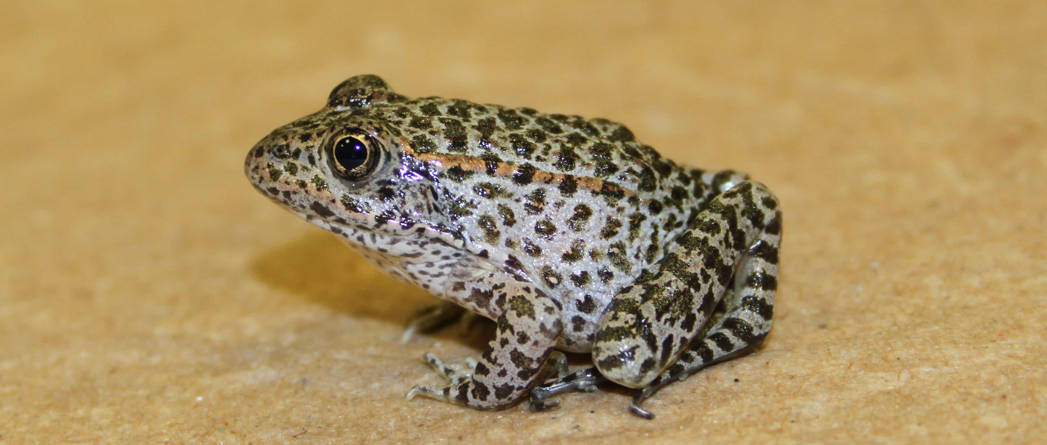 Resultado de imagem para Dusky Gopher Frog