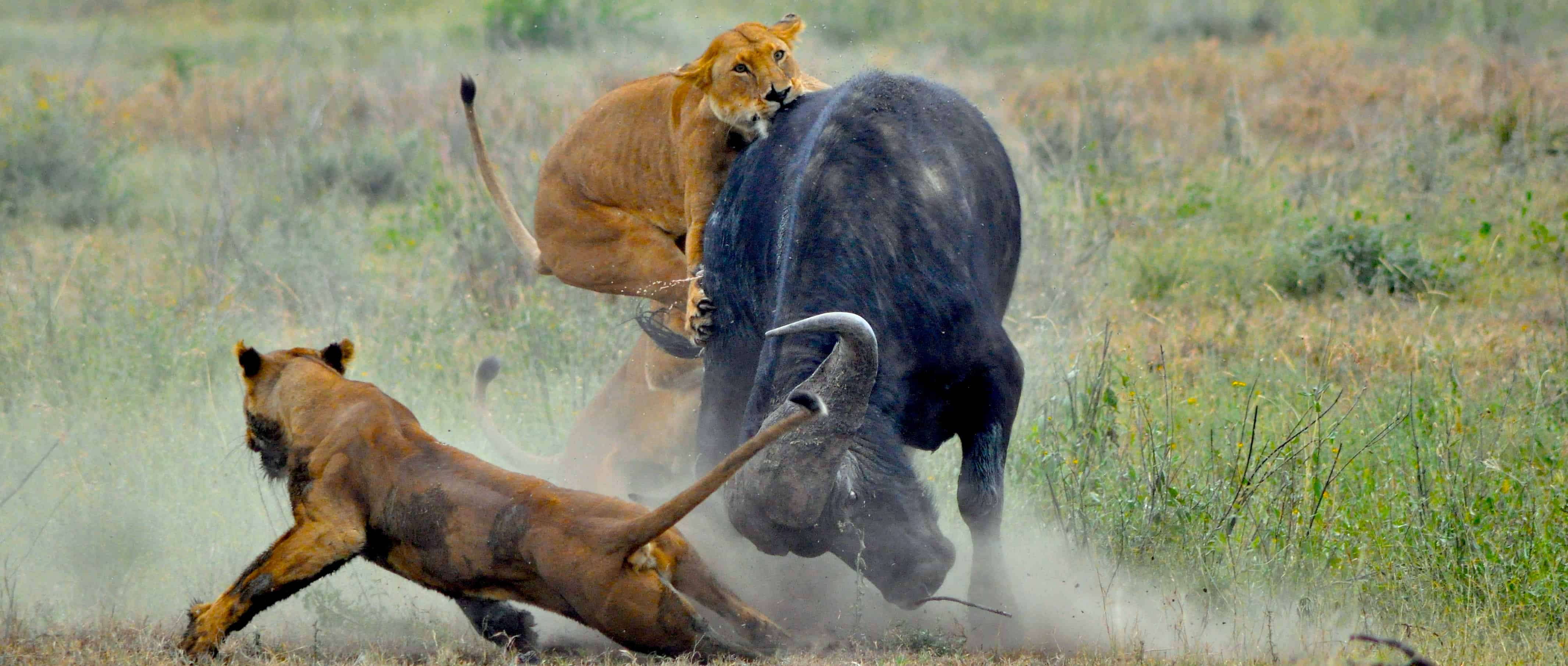 Image Gallery lions attacking prey