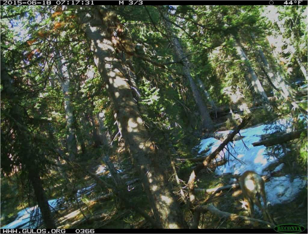 S&M - wolverine wildcam 6