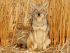 Coyote in the Cattails. Image Credit: USFWS Mountain-Prairie, licensed by cc 2.0