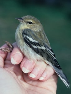 A fall young blackpoll warbler in Maine. Image Credit: Sara Morris