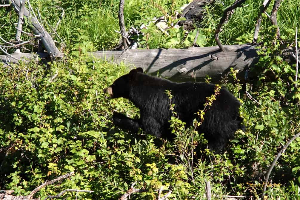 Wyoming Chapter: Memorial Bear Fund | THE WILDLIFE SOCIETY
