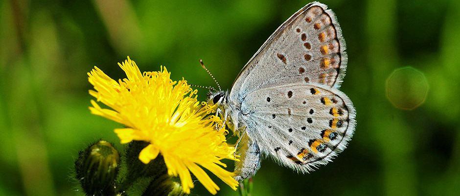 MN-Karner_blue_butterfly_on_hawkweed-Credit-Joel-Trick-USFWS