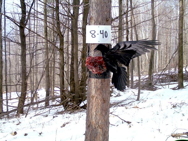 Raptors were also a common sighting at the camera trap sites. Here, a raven attacks the beaver meat bait set out for the fishers. ©New York Department of Environmental Conservation/Angela Fuller