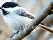A black-capped chickadee with a severely deformed beak sits on a branch in Homer, Alaska. ©Martin Renner