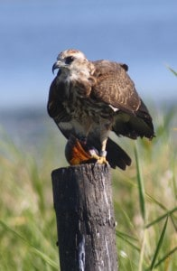A juvenile snail kite feasts on an invasive island apple snail. ©Kyle Pias