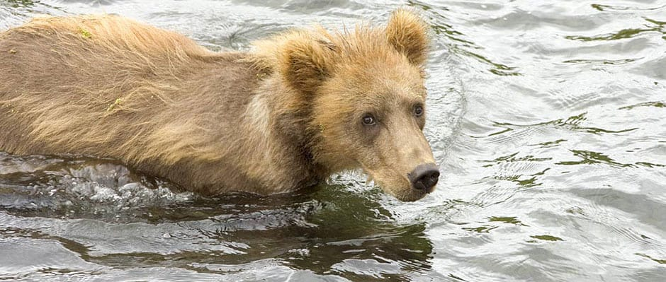 Brown Bear Cub in Water