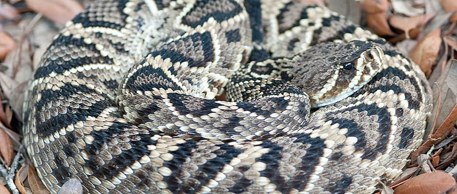 Diamondback Rattlers Choose their Own Poison | THE WILDLIFE SOCIETY