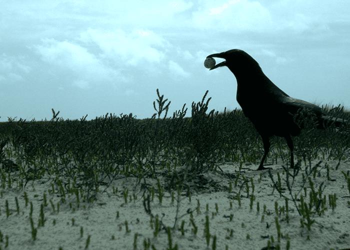 Fish Crow. Image Credit: Audrey DeRose-Wilson