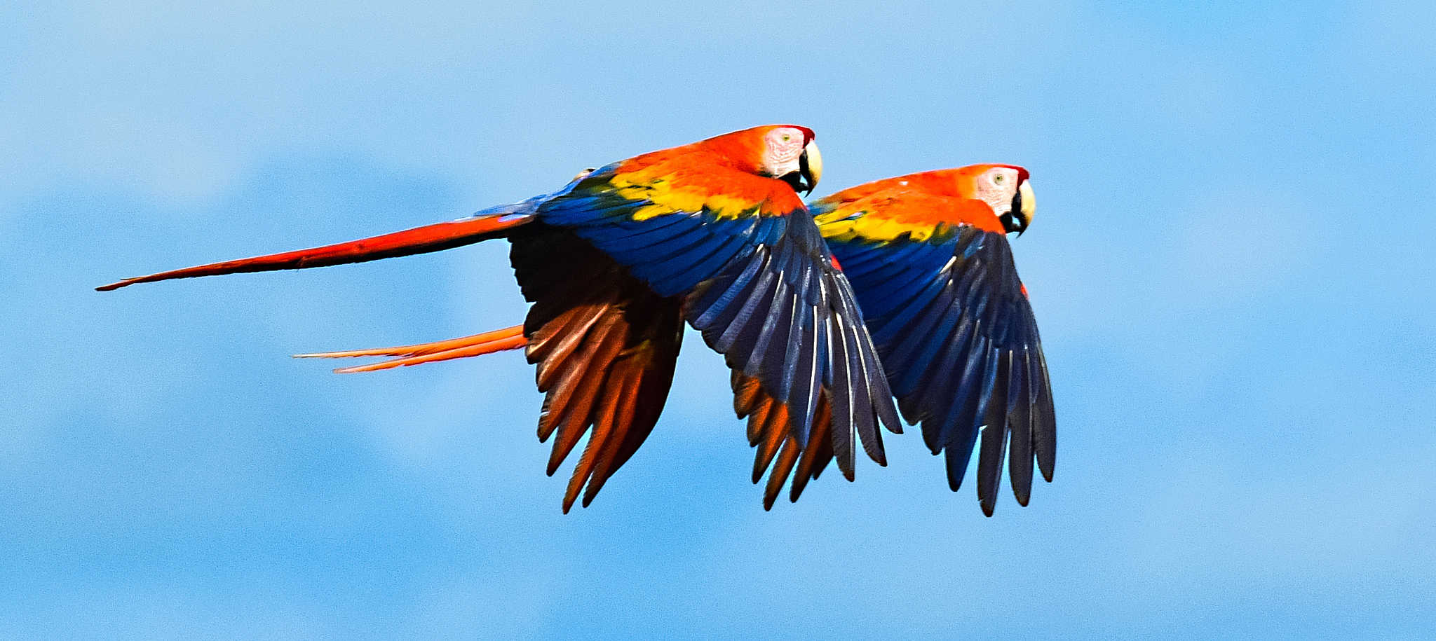 Usfws To List Scarlet Macaw Subspecies As Endangered The Wildlife Society