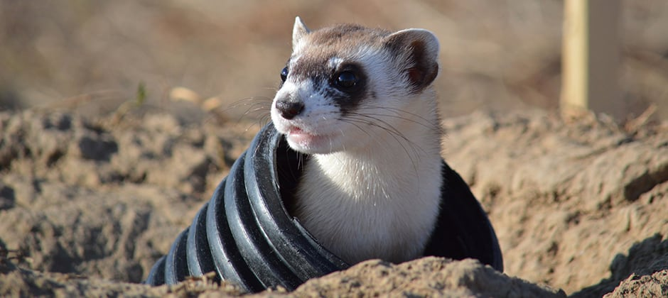 Who knew ferrets could fly? | THE WILDLIFE SOCIETY