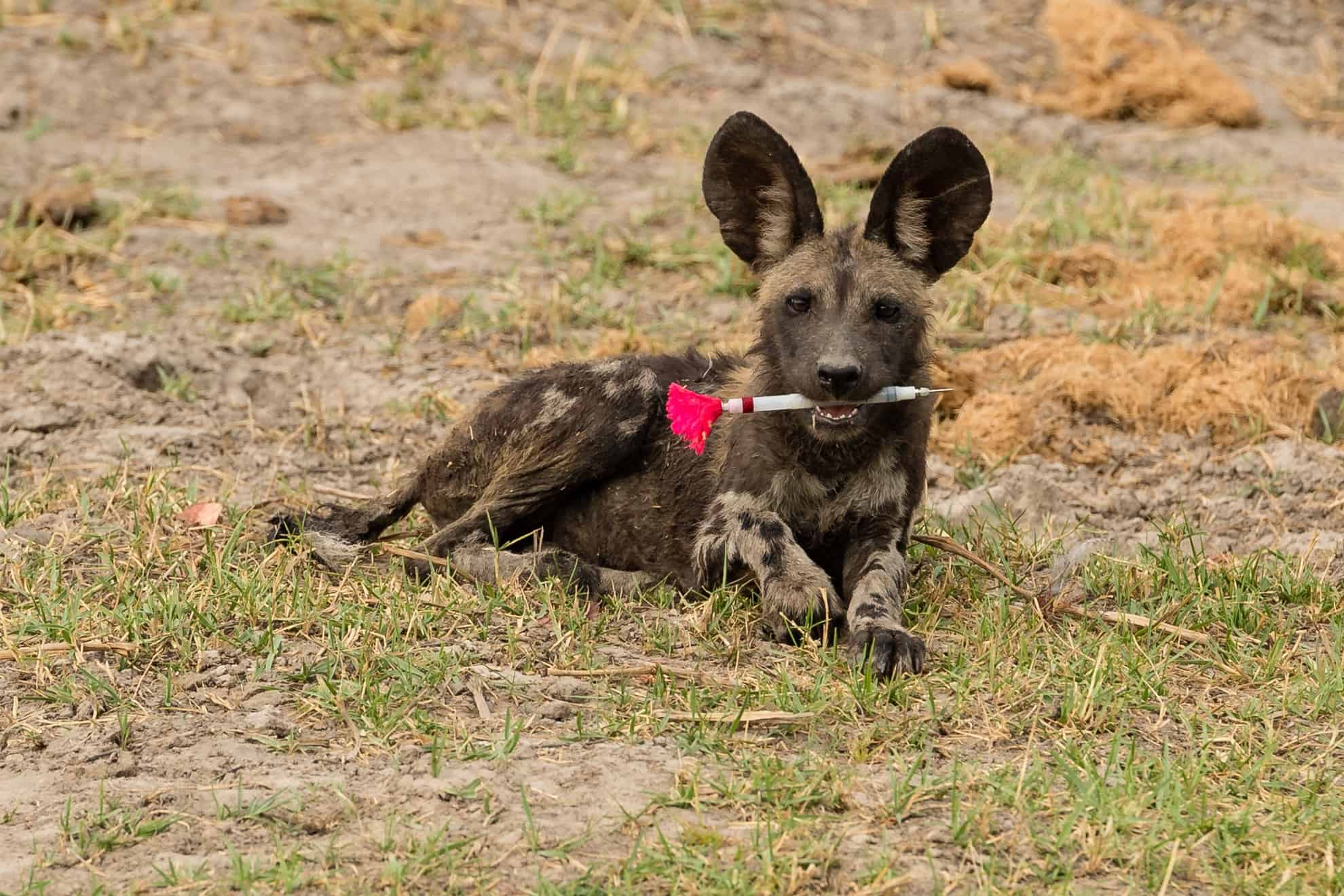 African-wild-dogs-2
