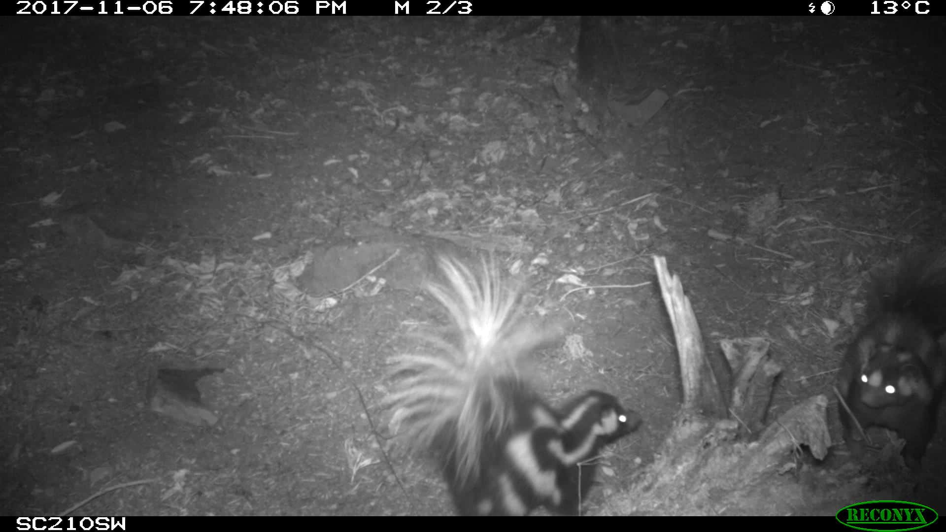 Island-spotted-skunks-8