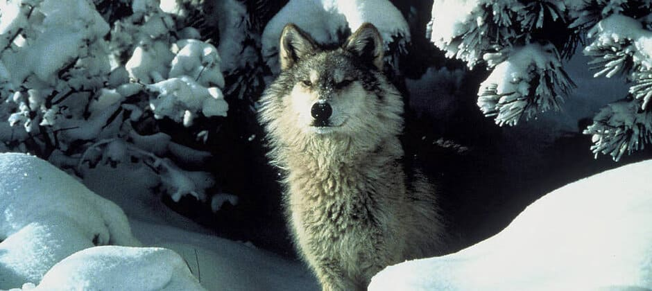 USFWS to review status of western wolves