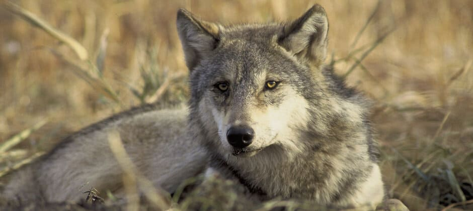 Wisconsin DNR sets conservative wolf harvest quota
